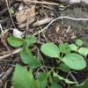多摩川のアレチウリの芽